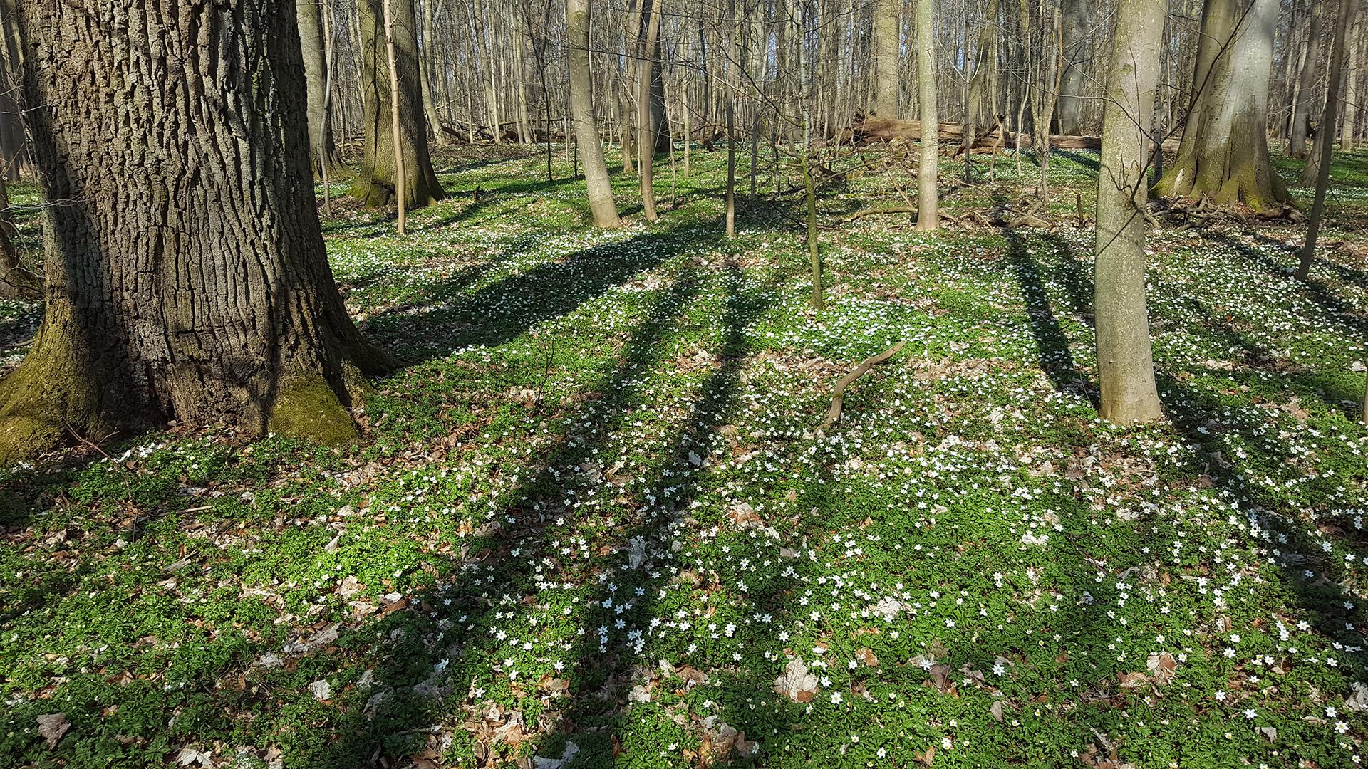 Der Wald blüht - Buschwindröschen im Elisenhain