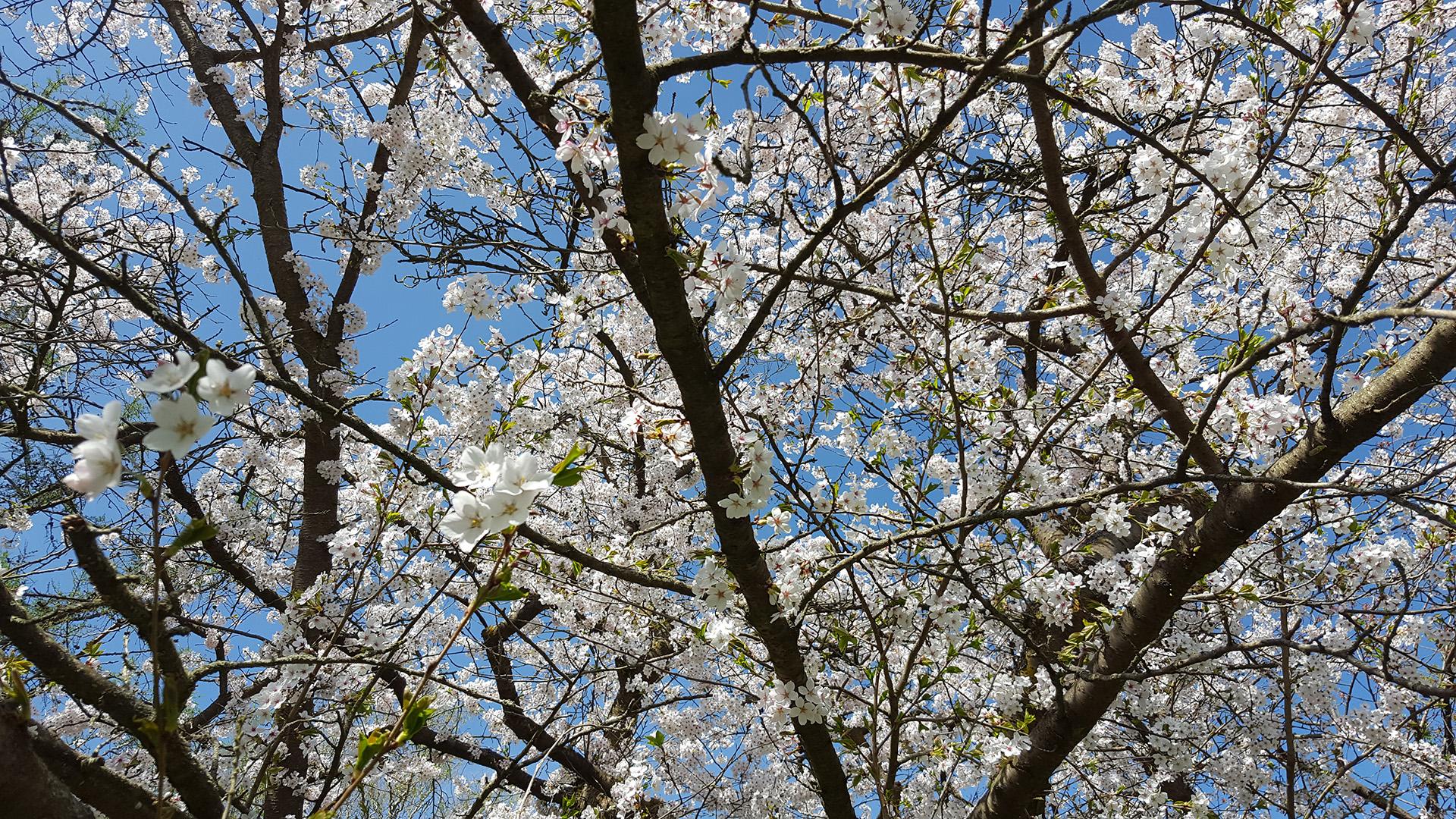 Blütenmeer im Arboretum des Botanischen Gartens Greifswald