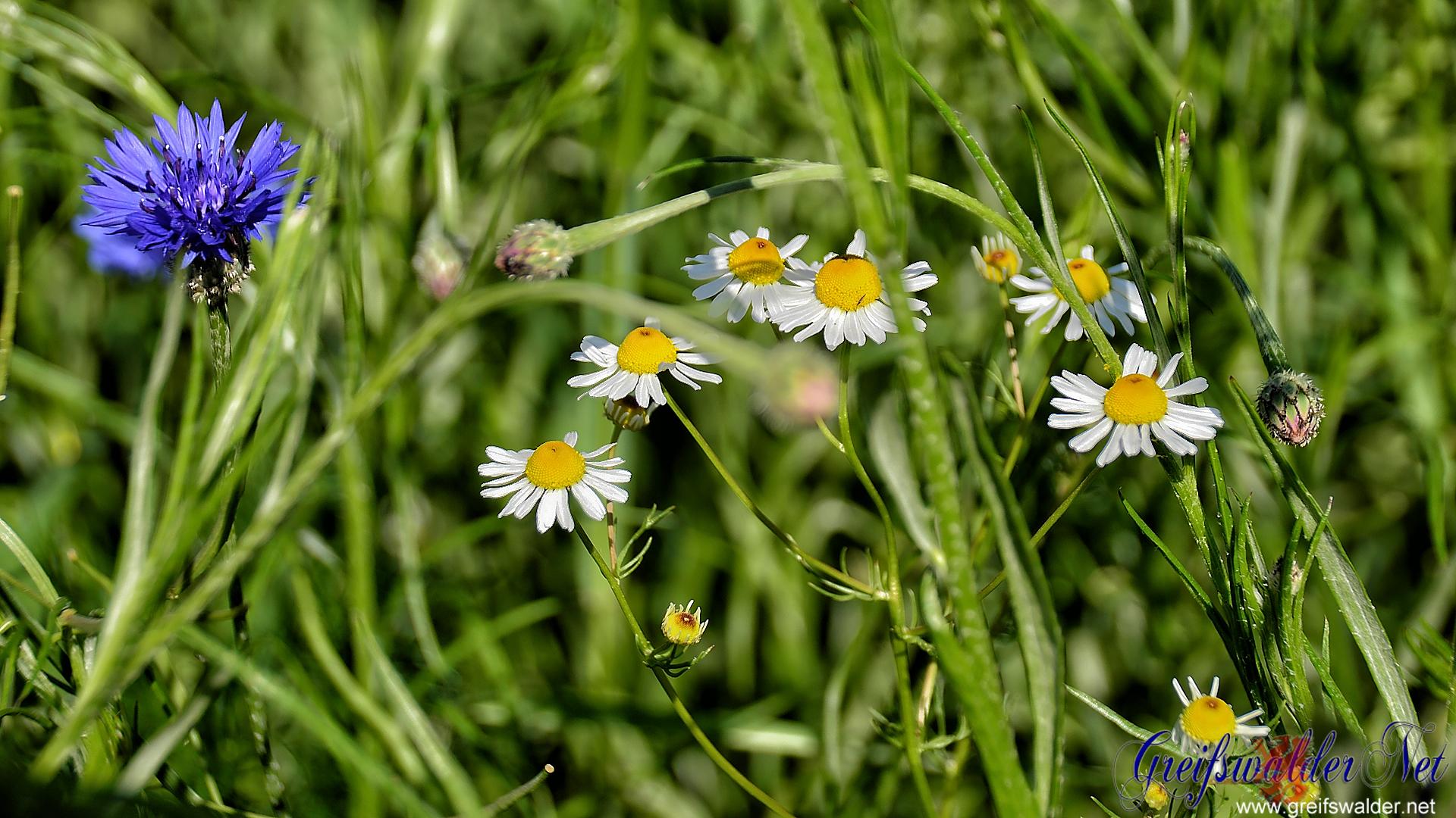 Wildblumen (Kamille und Kornblume)