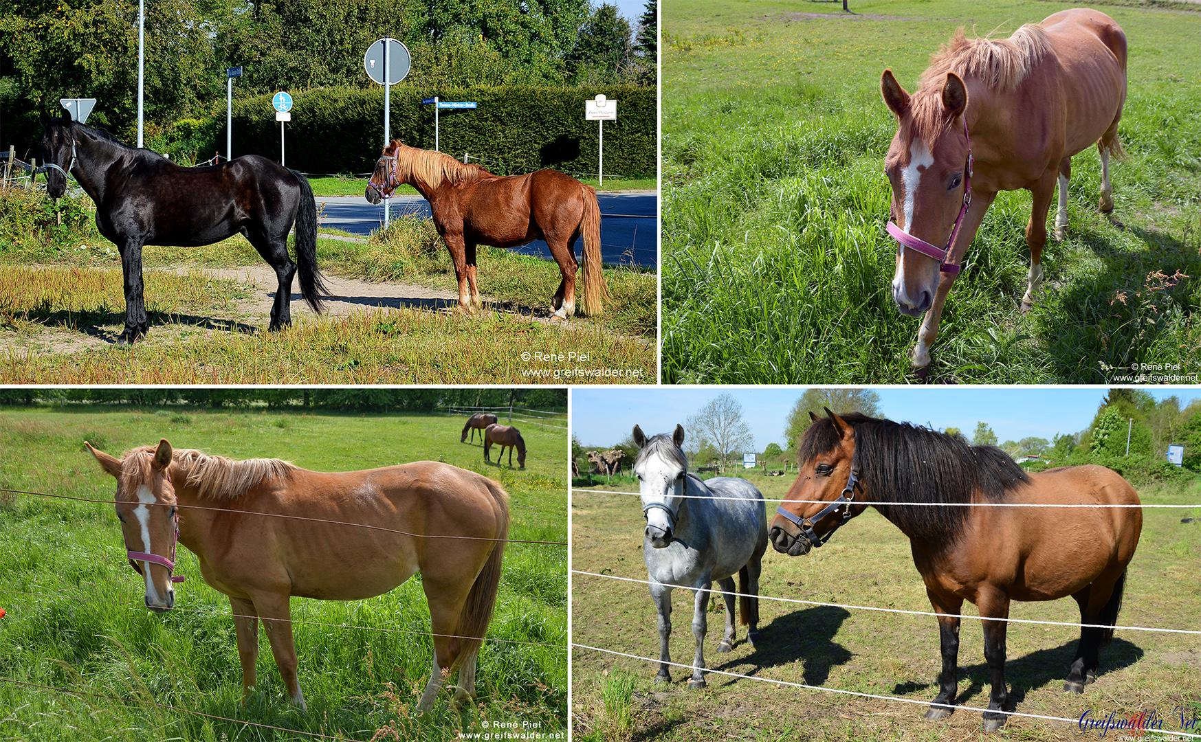 Pferde in Greifswald und Umgebung