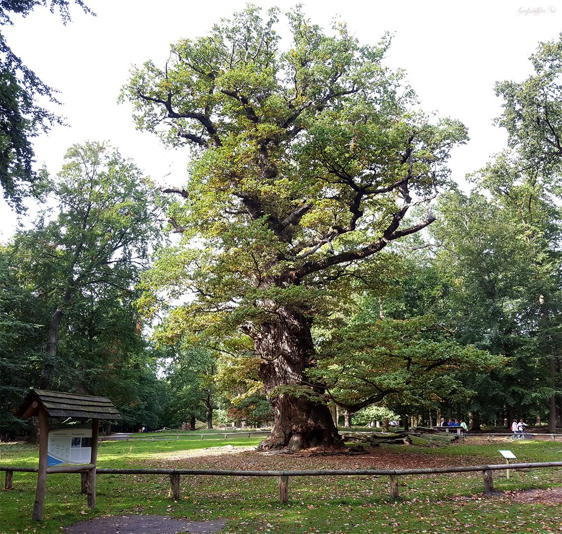 Ivenacker Eichen und Baumkronenpfad