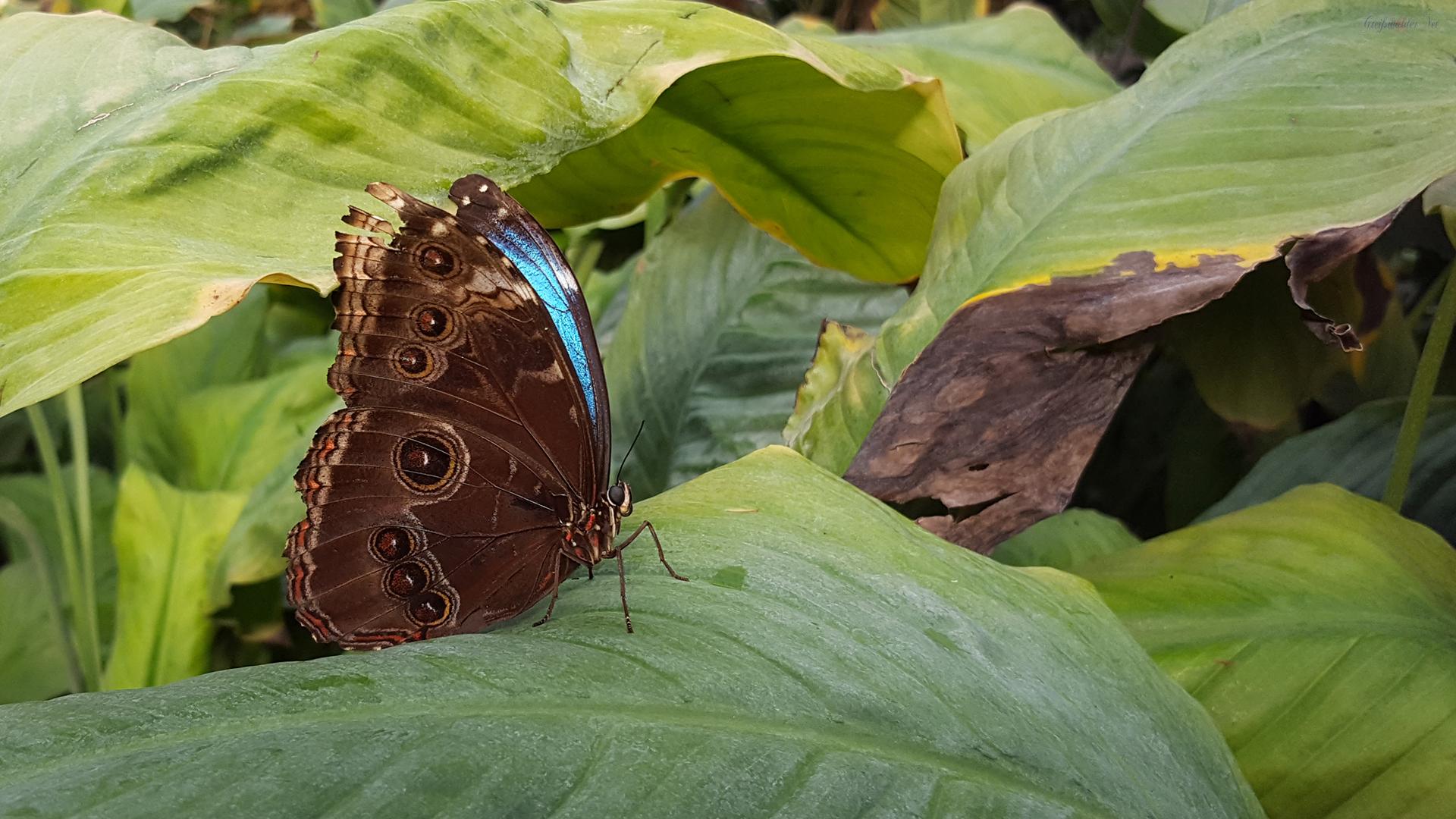 Schmetterling in der Schmetterlingsfarm Trassenheide