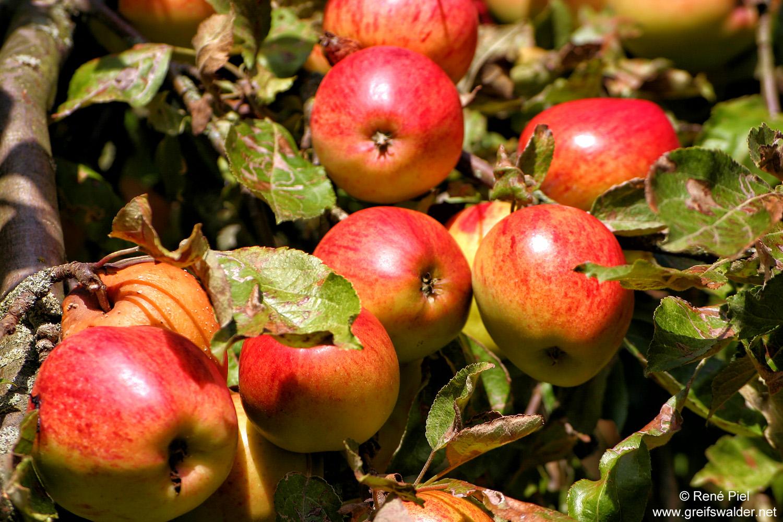 Äpfel schmecken jetzt besonders gut