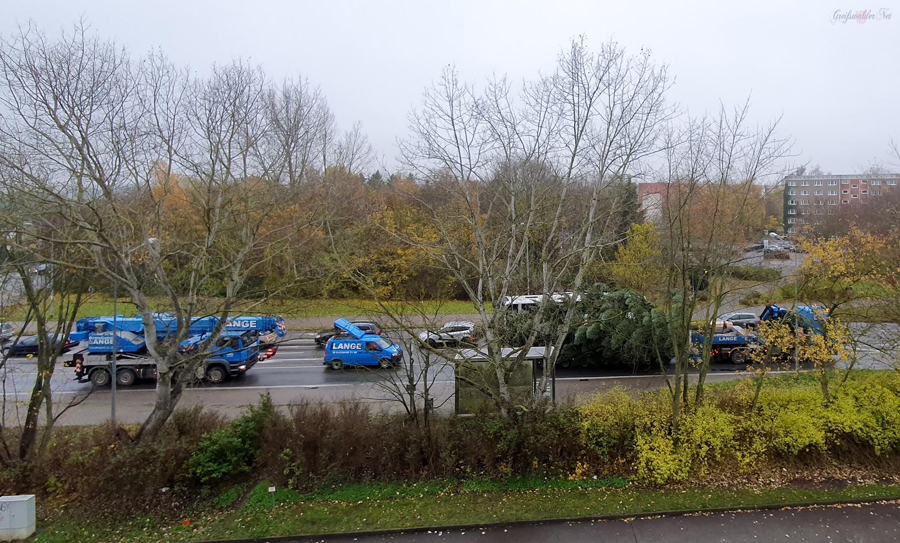 Tannenbaum auf dem Weg zum Marktplatz in Greifswald