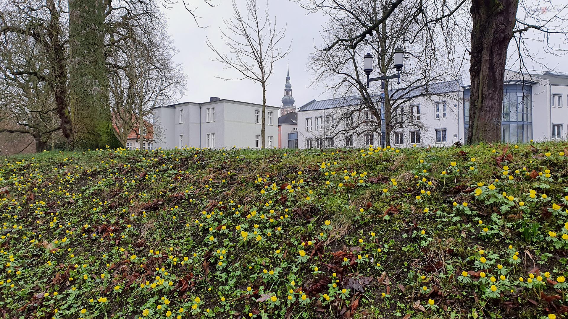 Winterlinge am Wall in Greifswald