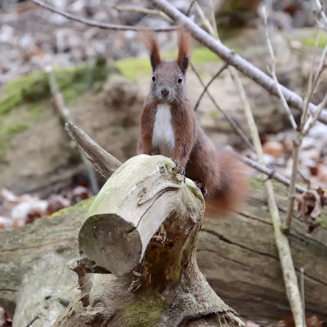 Eichhörnchen im Elisenhain