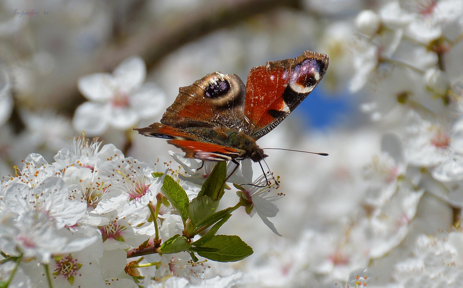 Schmetterling - Tagpfauenauge (Aglais io)