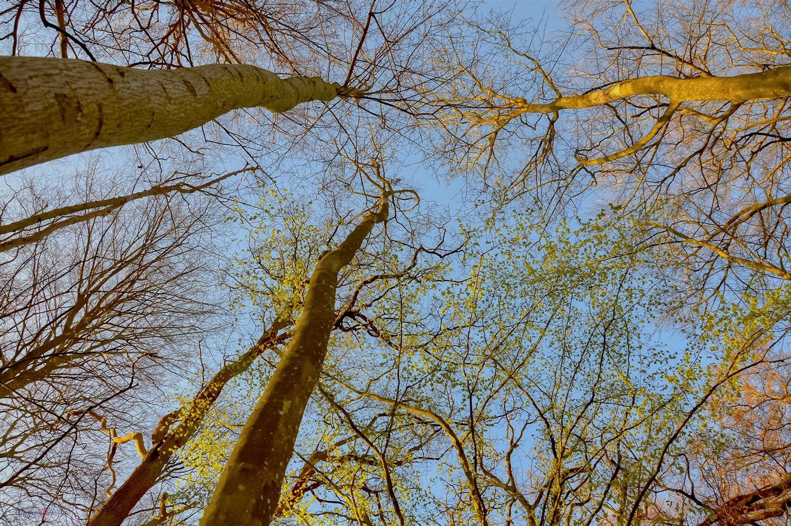 Baumkronen im Elisenhain