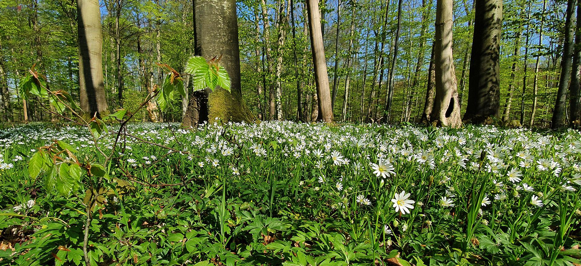 Es grünt und blüht im Elisenhain. Naturschutzgebiet Eldena - Wald im Südosten der Hansestadt Greifswald in Mecklenburg-Vorpommern