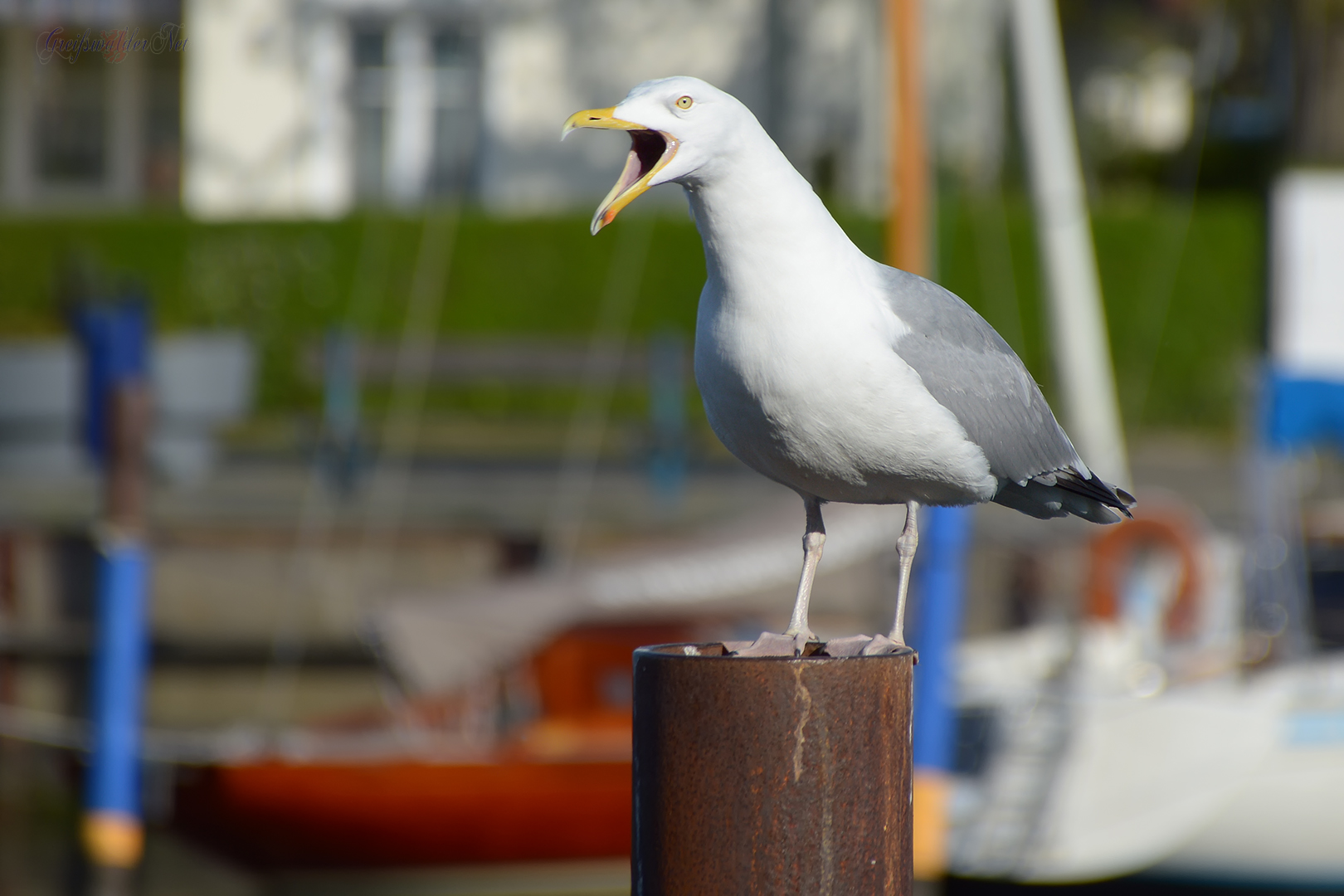 Krach machen - Möwe am Ryck in Greifswald-Wieck