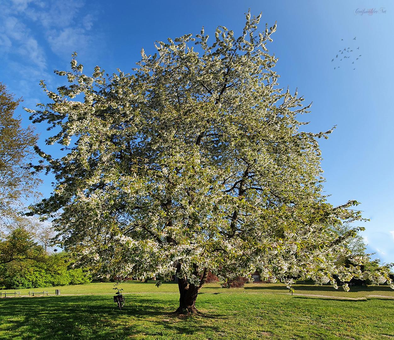 Frühling - Blühender Baum