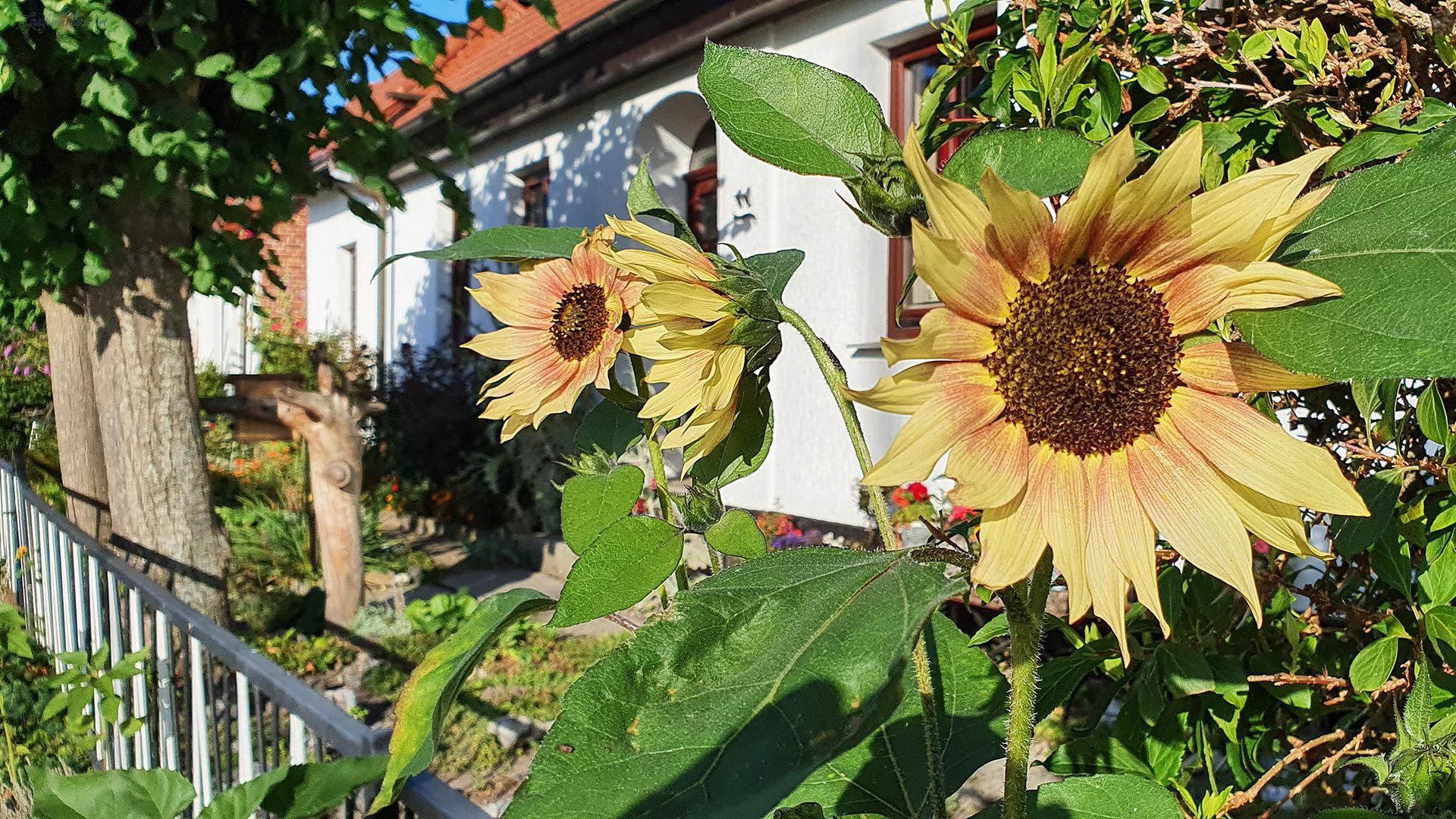 Sonnenblumen in Greifswald-Wieck