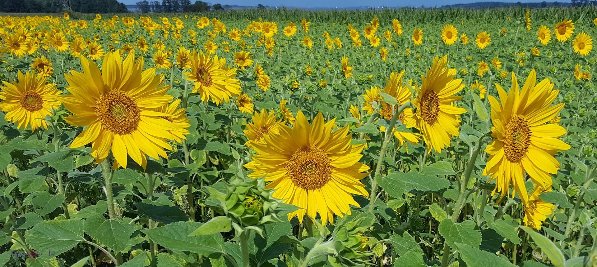 Sonnenblumenfeld Sonnenblume