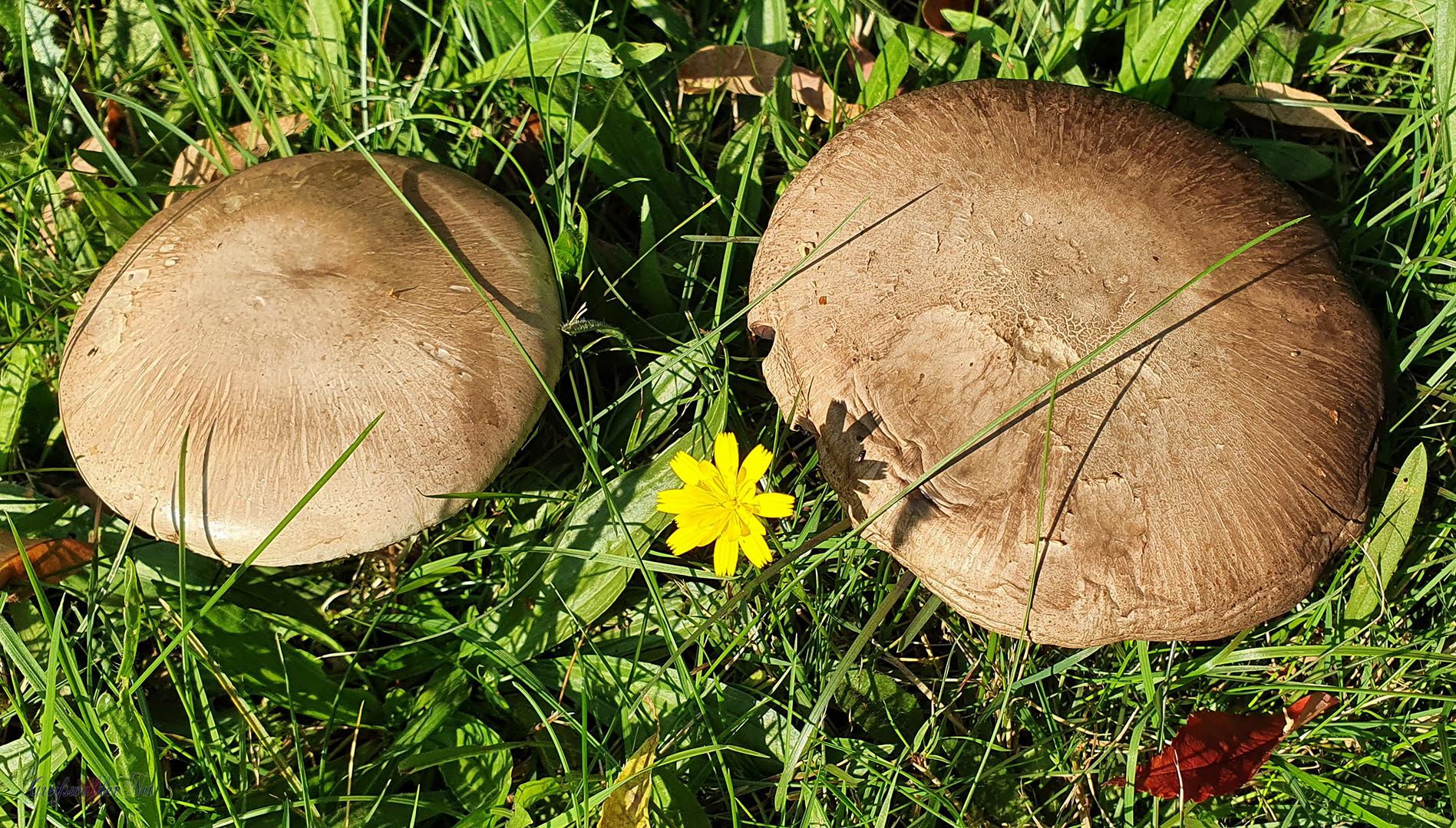 Frühherbst - Pilze im Arboretum des Botanischen Gartens Greifswald