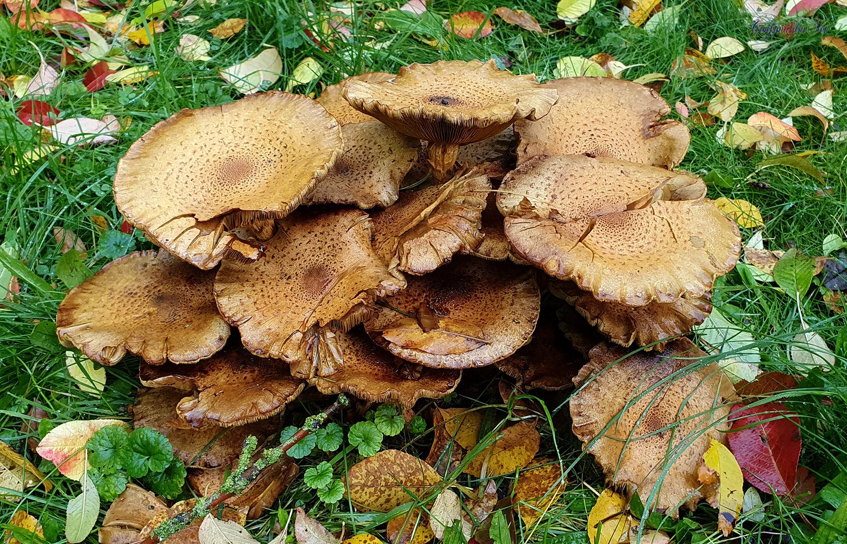Pilze im Arboretum des Botanischen Gartens Greifswald