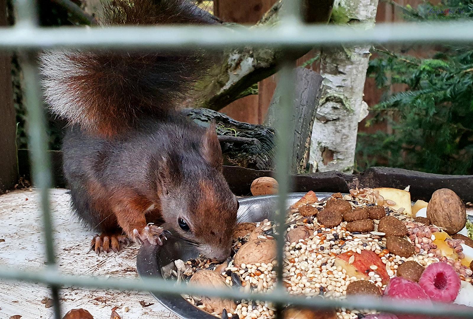 Eichhörnchen Fütterung